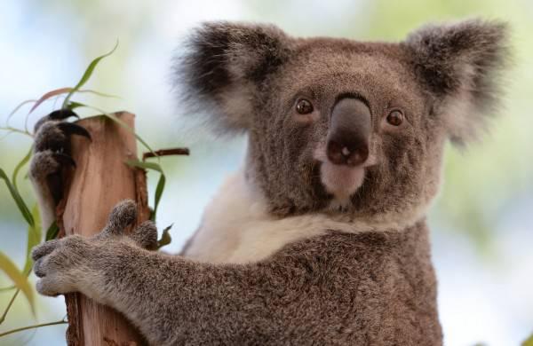Australia: Koala investito da un'auto, viene rianimato con respirazione bocca a bocca