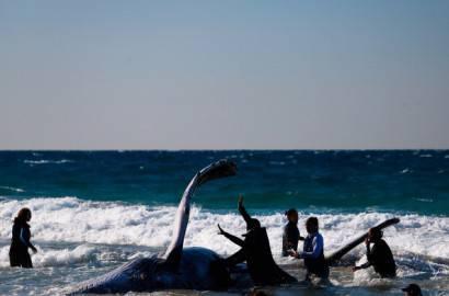 Salvataggio balena spiaggiata (Getty images)