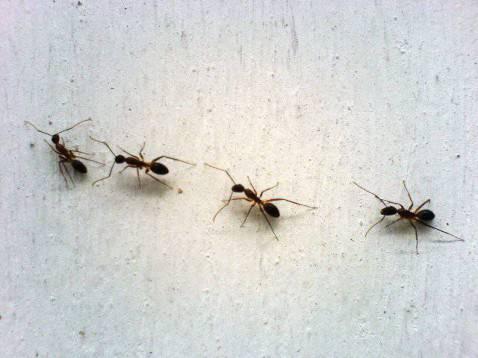 Casa invasa dalle formiche ecco i rimedi naturali per contrastarle - Rimedi per le formiche in casa ...
