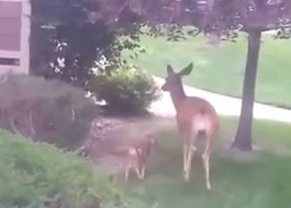 Un cucciolo di daino incastrato nel giardino di una casa: ecco cosa succede…