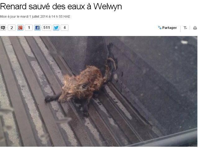 Canada: si tuffano per salvare una volpe intrappolata in un campo allagato