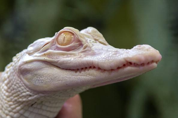 Australia: ucciso raro coccodrillo albino. Animalisti e ambientalisti sul piede di guerra