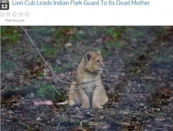 Il cucciolo di Leone del guardia parco (screen shot sito internet)
