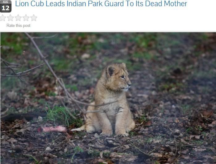 India: il cucciolo di leone che porta un guardiaparco dalla madre morta