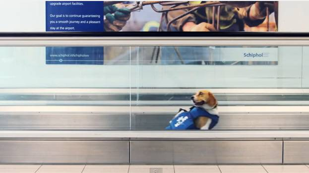 Sherlock: il beagle investigatore dell'aeroporto di Amsterdam