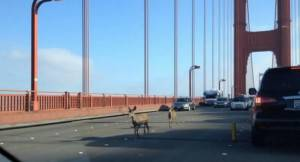 Cervi sul Golden gate bridge (screen shot video youtube)