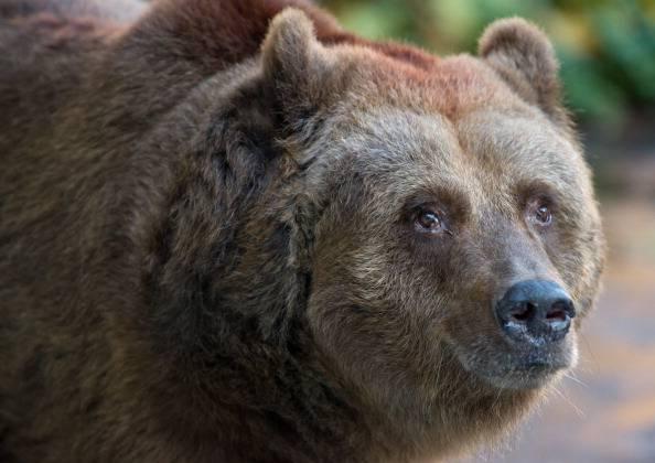 Abruzzo, trovato morto orso
