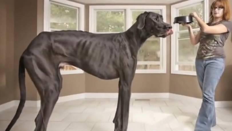 Morto Zeus:  Guinness del cane più alto del mondo