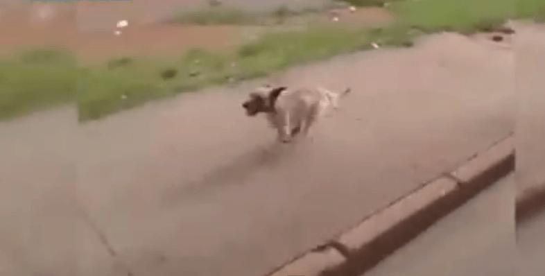 Ed ecco il cagnolino che rischia di morire per seguire il padrone in ambulanza