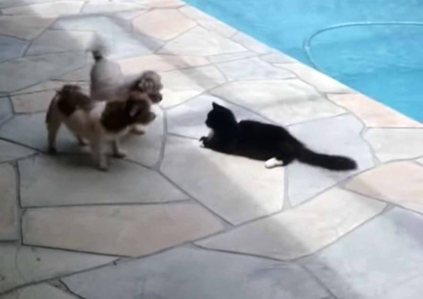 cat-pushes-dog-into-swimming-pool-image10