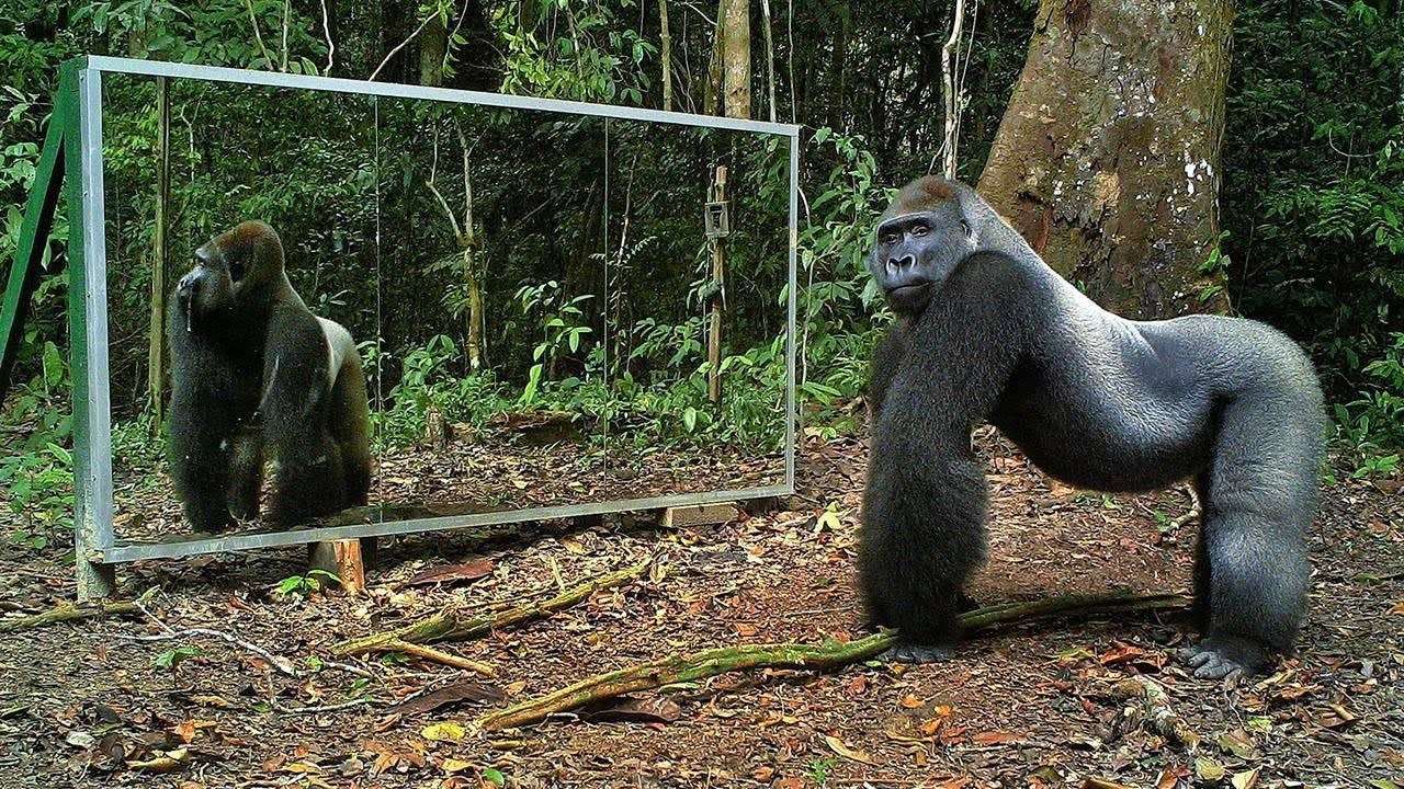 Mettono uno specchio nella giungla: guardate le reazioni degli animali -VIDEO