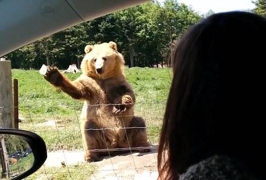 La presa perfetta dell'orso (screenshot Youtube)