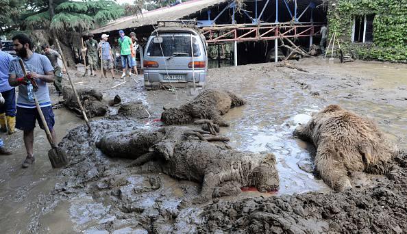 Alluvione in Georgia, strage di orsi, tigri e lupi