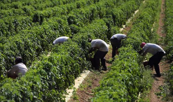 Muore nei campi del Salento mentre raccoglie pomodori