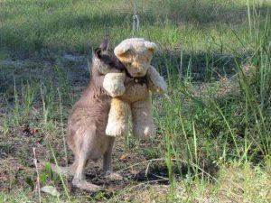 Australia: il cangurino orfano e l'amico peluches.