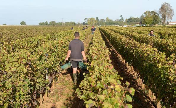 Lavoro nelle vigne (MEHDI FEDOUACH/AFP/Getty Images)