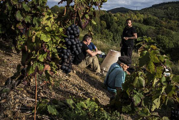Vendemmia (JEFF PACHOUD/AFP/Getty Images)