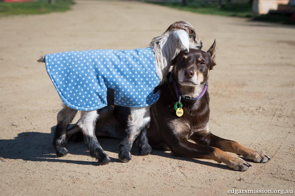 Ruby, la cagnolina-infermiera che cura gli animali salvati dal macello VIDEO