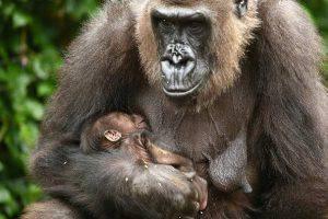 Gorilla Zoo Francoforte
