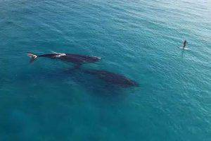Paddle-Boarding-with-Whales-in-Esperance-Western-Australia