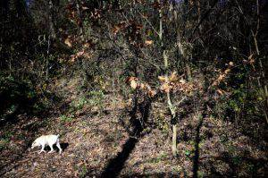 Ezio, 67, truffles's hunter for 50 years, looks for truffles with the help of his dog Jolli, 9, on November 25, 2013 in Monchiero's woods, near Turin. AFP PHOTO / OLIVIER MORIN        (Photo credit should read OLIVIER MORIN/AFP/Getty Images)