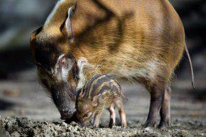 A red river hog piglet stands next to its mother at the Tierpark Hagenbeck zoo in Hamburg, northern Germany, on April 16, 2014. The baby pig was born at the zoo on March 19, 2014. AFP PHOTO / MAJA HITIJ / GERMANY OUT (Photo credit should read MAJA HITIJ/AFP/Getty Images)