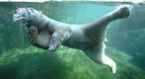 A polar bear enjoys the water in its enclosure in the zoo in Hanover, central Germany, on July 2, 2015. Meteorologists forecast temperatures around 30 degrees for the Germany. AFP PHOTO / DPA / HOLGER HOLLEMANN   GERMANY OUT        (Photo credit should read HOLGER HOLLEMANN/AFP/Getty Images)