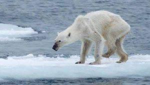 Ecco cosa sta succedendo al Polo…orsi a rischio estinzione.