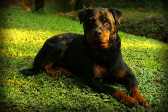 Rottweiler (pubblico dominio)