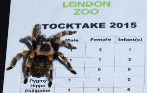 A Mexican redknee tarantula climbs on a clipboard during the annual stocktake photocall at London Zoo on January 5, 2015. The compulsory annual count is required as part of the zoo's licence. There are 21 of these spiders at the zoo. AFP PHOTO / JUSTIN TALLIS (Photo credit should read JUSTIN TALLIS/AFP/Getty Images)
