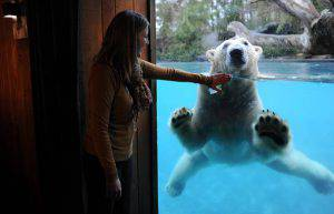 TO GO WITH AFP STORY BY PATRICK BAERT Taiko, a polar bear, plays in his pool in front of a bedroom at a lodge at La Fleche zoo, on December 12, 2014, in La Fleche, western France. Polar bears share their nights with visitors who stay in comfort and observe from their unique perspective until dawn. AFP PHOTO/ JEAN-FRANCOIS MONIER (Photo credit should read JEAN-FRANCOIS MONIER/AFP/Getty Images)