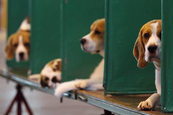Beagle (Dan Kitwood/Getty Images)