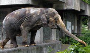 Hanako, l'elefante rinchiuso in cella da 66 anni (Video)