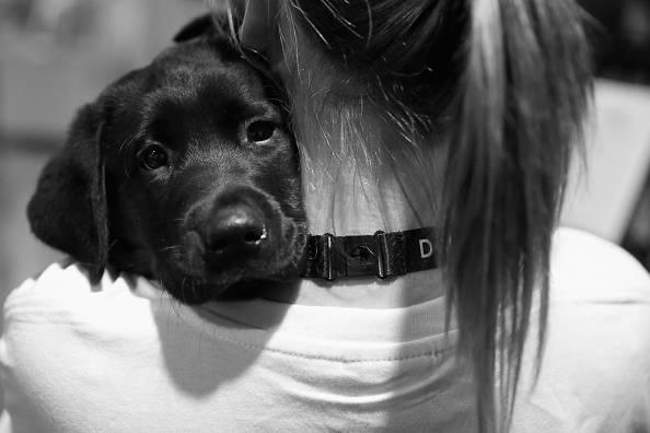 Labrador (Mark Kolbe/Getty Images)