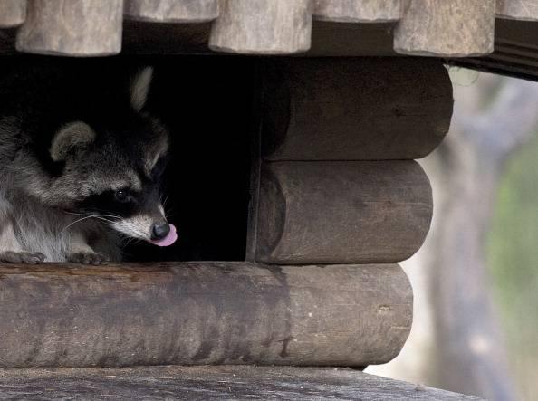Una cucciolata di procioni sotto il tetto VIDEO