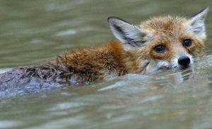 Baja, HUNGARY: A fox swims in flood water of Danube River at Gemenc forest of Danube-Drava National Park 06 April 2006. Central Europe continued to battle swollen rivers and floodwaters that have driven thousands from their homes and left a dozen dead across the region. In Hungary, 516 people have been forced to evacuate. AFP PHOTO ATTILA KISBENEDEK (Photo credit should read ATTILA KISBENEDEK/AFP/Getty Images)