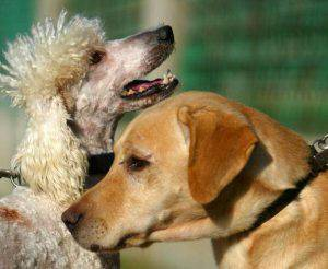 """NORDIYYA, ISRAEL ? DECEMBER 7: (ISRAEL OUT)  Father Rex the Labrador (R) and  mother Meme the Poodle, parents of cross-bred poodle and Labrador pups, called Labradoodles, play at Israeli breeder Uri Beckman's """"It's all about dogs"""" farm on December 7, 2005 in Nordiyya, Israel. The pups were developed to offer an alternative for pure Labrador guide dogs for the blind that tend to be too jumpy and excitable for many blind people to deal with, in addition to the problem that they tend to shed a lot of hair. It is hoped that cross breeding Labradors with Poodles with develop a calmer animal that sheds less hair. (Photo by Uriel Sinai/Getty Images)"""