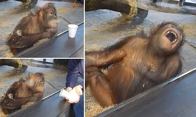 Un piccolo gioco di prestigio e l'orango si diverte come un bimbo  VIDEO