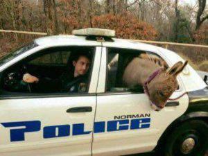 donkey police norman