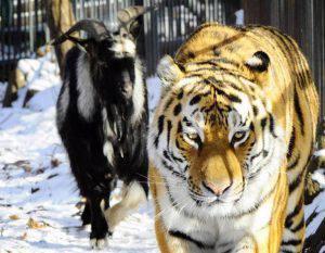 La capra che stava per essere mangiata dalla tigre che diventa sua amica (Video)