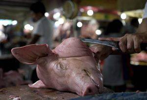 testa di maiale