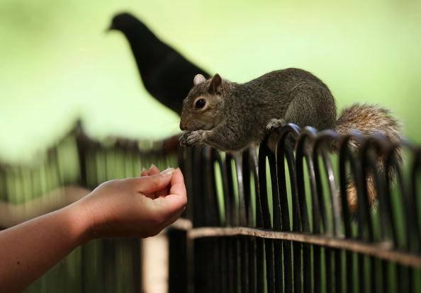 Lo scoiattolo grigio (Dan Kitwood/Getty Images)