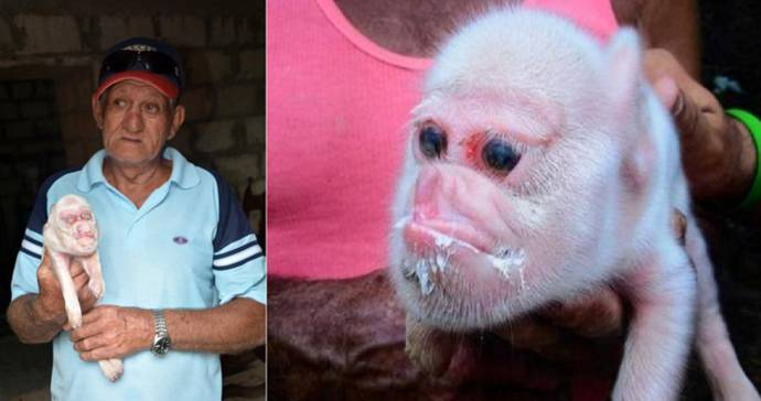 Maiale nasce con la faccia da scimmia, mistero sulle cause