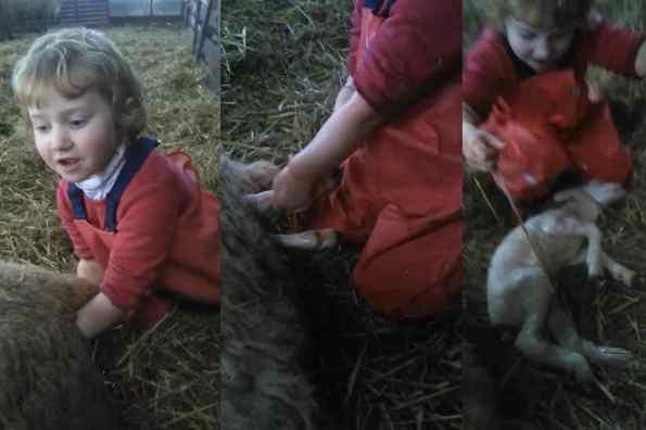 Ostetrica a tre anni, aiuta a partorire una pecora (VIDEO)