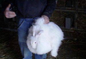 Conigli da angora (foto dal web)