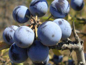 Prunus spinosa (Websource)