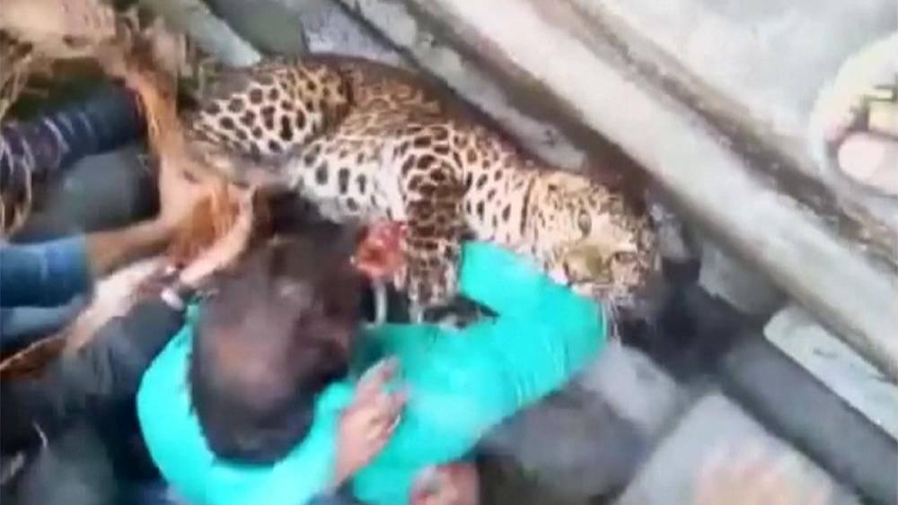 Leopardo semina il terrore in città, ha già ferito 20 persone – VIDEO