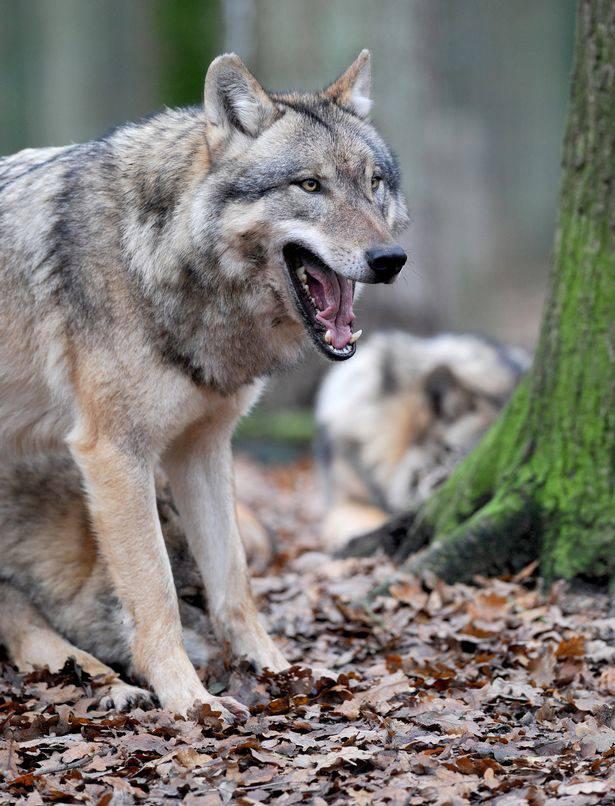 Il ritorno dei lupi: ecco chi attaccano e perché