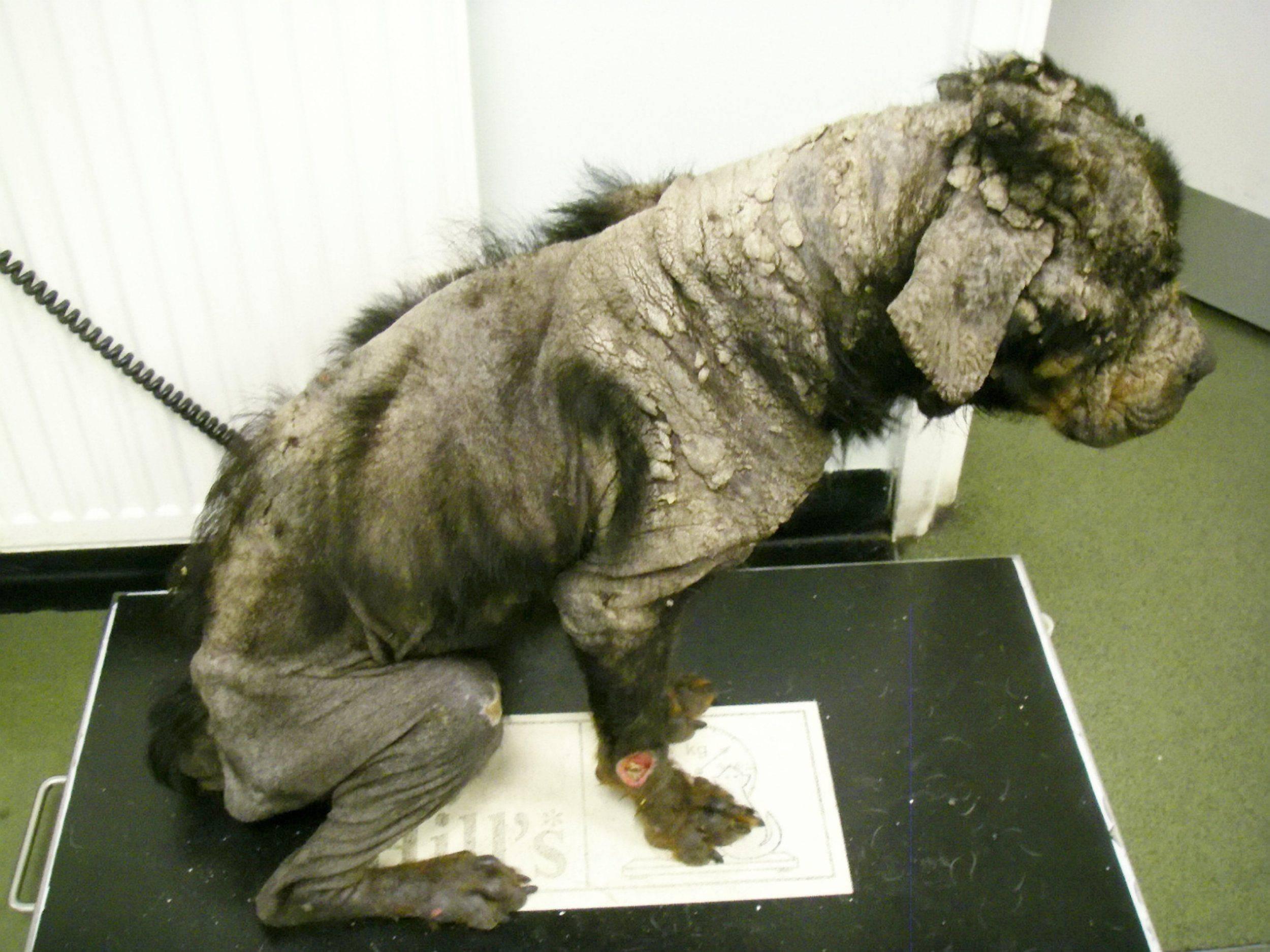 Cane in condizioni tragiche, il padrone era andato in vacanza