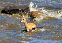 Coccodrillo mangia ignara gazzella